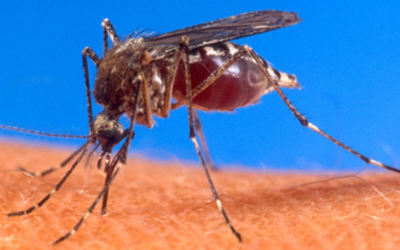 El Friendly Aedes Oxitee, el mosquito que combate el el dengue; lo redujo en un 91% en zona de Brasil