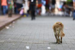 Jornada de esterilización de perros y gatos callejeros en la Zona Colonial; operarán más de 100 perros y tagos
