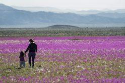 Eso hay que verlo… El desierto florido de Chile…