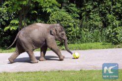 Al elefante le dio con «jugar» con vehículos en una autopista…