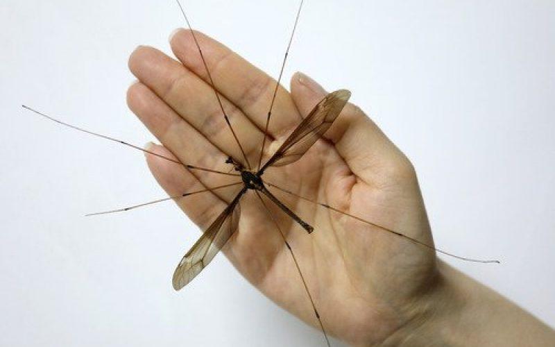 Mosquito gigante descubierto en zona de China