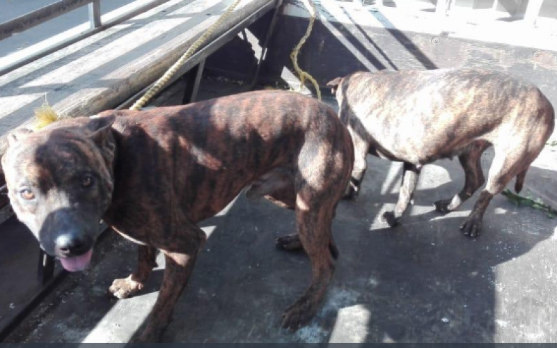 Los perros que tenía vendedor de drogas en Baní para «chubarlos» a agentes de la Policía