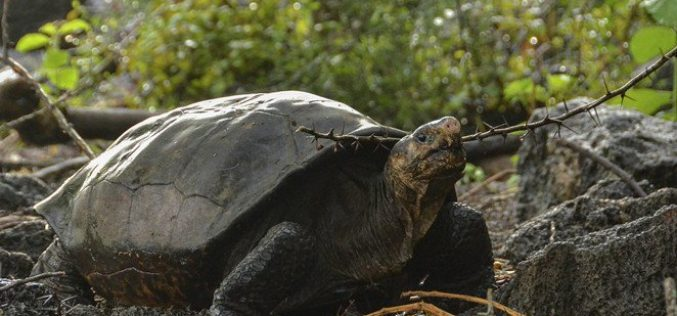 Tortuga gigante que se creía extinta hace 100 años es descubierta en Islas Galápagos