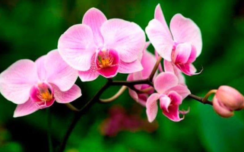 700 mil pesitos de orquídeas se «engulleron» ¡RD$50 mil millones! que se anunciaron para impulsar el año escolar a distancia y virtual